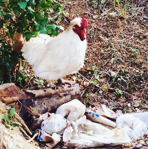 P-chan Okinawan chicken